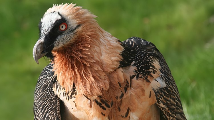 This Vulture Feeds Almost Exclusively on Bones