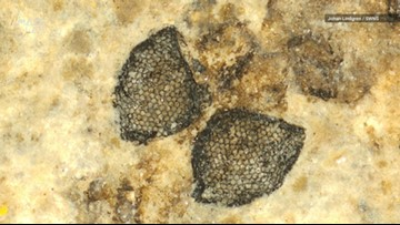 Exceptionally Detailed Fossil Fly Eyes Discovered In Denmark