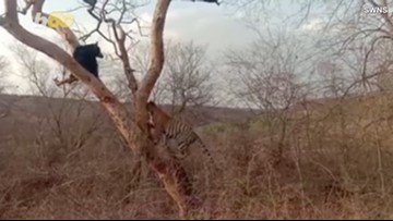 Tourists Capture the Moment a Bear Narrowly Escapes Tiger by Climbing Up a Tree