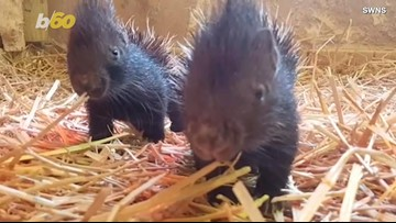 Watch These Adorable Baby Porcupine Twins Live Their Best Lives