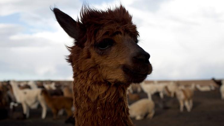 Bolivia Llama Shepherd
