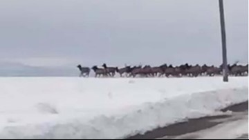 Watch 700 elk dash across snowy Oregon road
