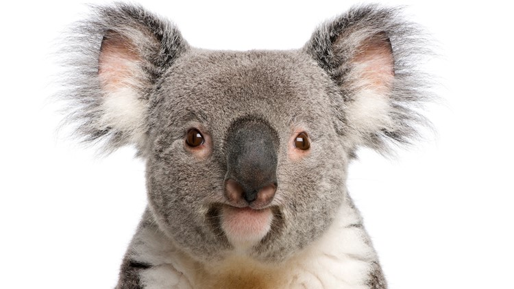 Koala rescued after 5-car pileup on Australian freeway