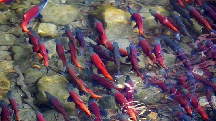 Idaho congressman unveils plan to breach dams, save salmon