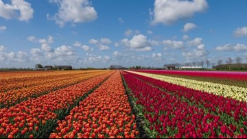 A tulip field is opening in the San Antonio area next spring