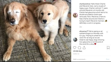 Love is blind: Golden retriever that lost his eyes has his own 'seeing eye' puppy