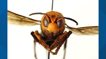'Murder hornets' are showing up in the U.S.