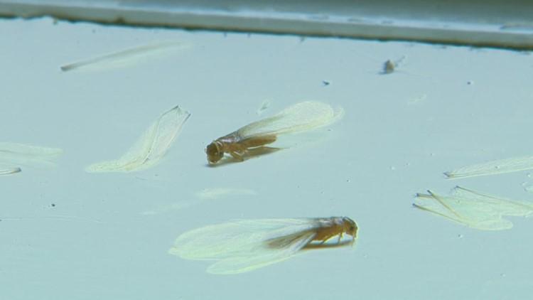 Heavy rain across Southeast Texas causing influx in ... termites!