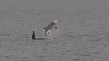 'Superpod' of Puget Sound orcas wows onlookers