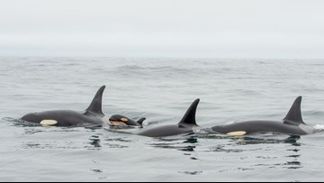 Orca calf spotted with J pod off coast of Vancouver Island