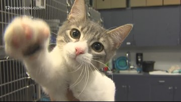 'Cosmo,' 3-month-old playful kitten is ready to be adopted