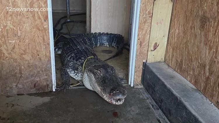 10-foot gator blocks traffic during Nicholas, rescued by Gator Country
