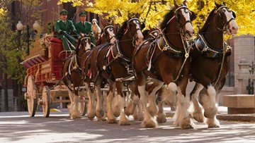 Budweiser Clydesdales making appearance at Mardi Gras in Beaumont