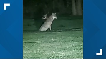 Coyotes spotted in Beaumont neighborhood