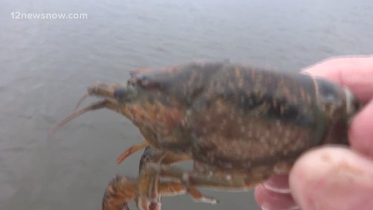 Giant crawfish left behind in live well