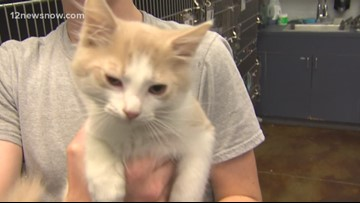 'Thibodeaux' the kitten needs a forever family