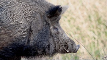 Hog experts warn public after deadly attack on Liberty woman
