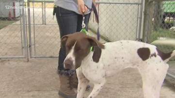'Dozer' the pointer needs a family of his own