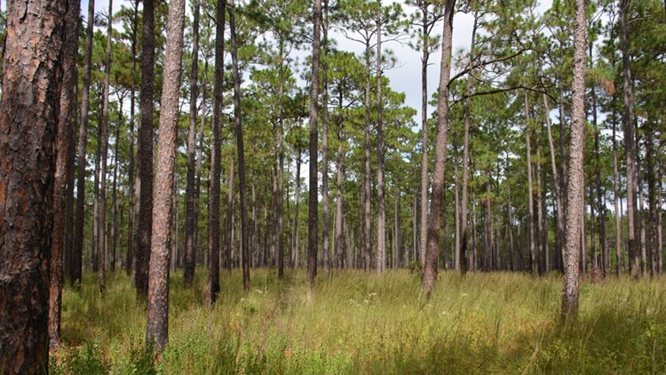 Long leaf pines in the Big Thicket.