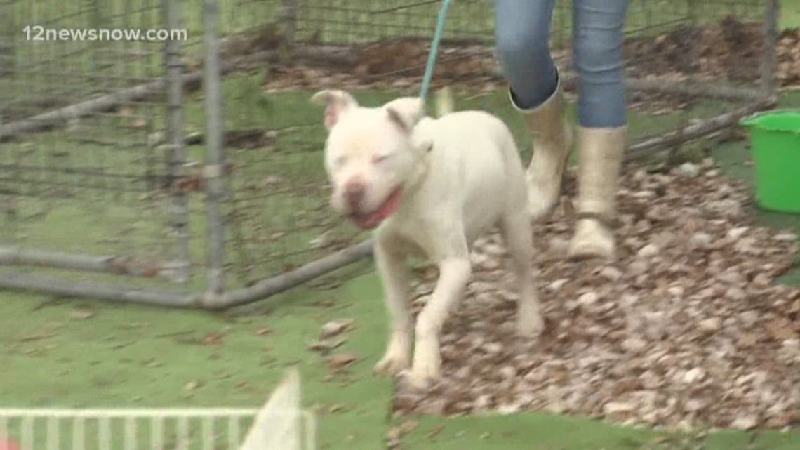 King Midas is a two-year-old deaf pitbull mix who needs a home