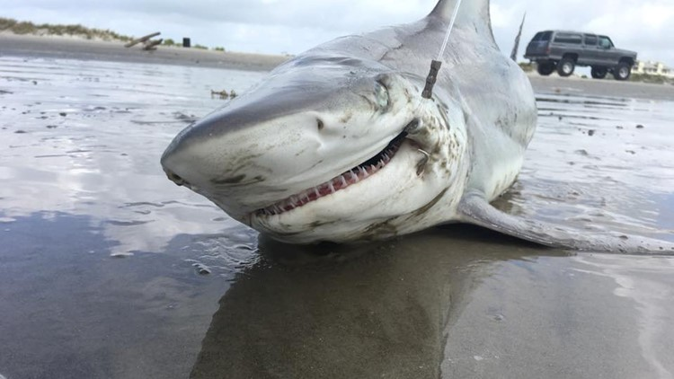 Since the start of the 21st century, reports of shark attacks in Texas continue to peak, with 27 attacks reported since 2000.