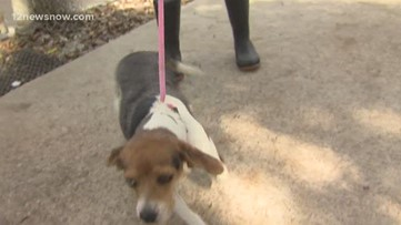 'Rosie,' 3-year-old beagle wants to be part of your family