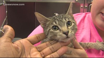 'Nobley,' two-month-old kitten needs a family to call his own