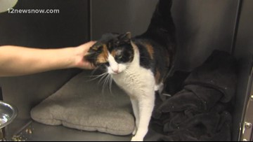 'Nugget,' 5-year-old cat, needs a new home