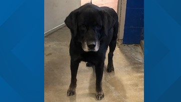 'Buddy' the lab rescued from ditch after four days, returned to his Central Gardens family