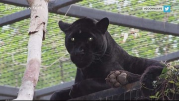 Witnesses speak out after woman climbs barrier, is injured by jaguar at Arizona zoo
