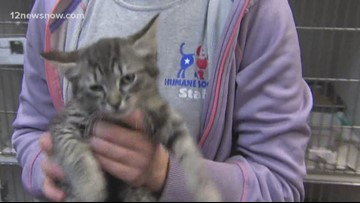 'Linguini,' two-month old kitty is looking for a forever family