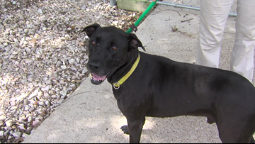 'Zohan,' 8-year-old lab mix is looking for a new home