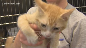 'Boudreaux,' the kitty needs a forever family