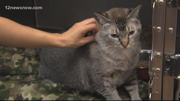 'Archie,' 4-year-old kitty needs a new family