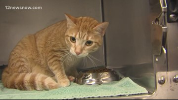 'Rosemary,' the tabby cat is looking for a forever family