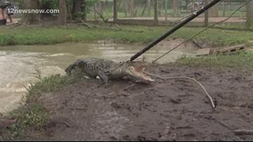 How do you move a 700 pound alligator? Gator Country found a way