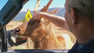 Friendly elk relocated to a  prime hunting region in Idaho one day before archery season