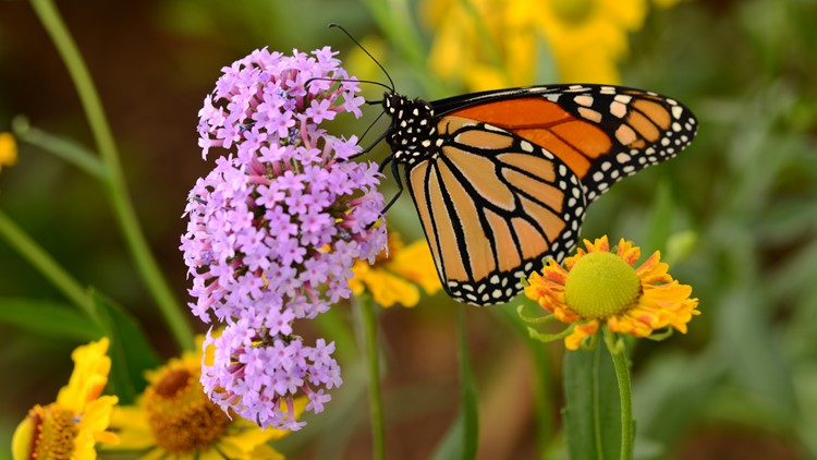 Huge numbers of monarch butterflies expected in Austin for annual migration