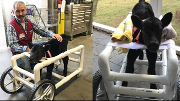 Lowe's employee builds custom wheelchair for injured calf in North Carolina