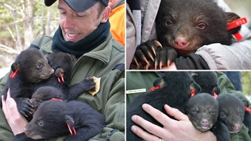 Game Wardens get bear hugs while on annual survey in Maine