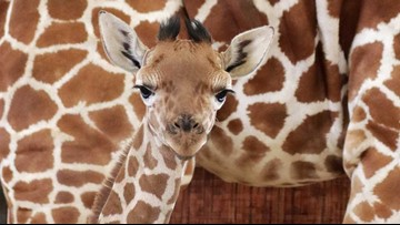 Dallas Zoo giraffe named for Jason Witten dies suddenly