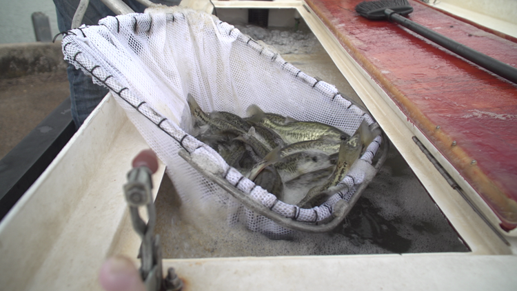 The Texas wildlife program working to ensure the future of big bass fishing in the state