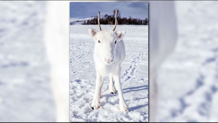 white reindeer  Mads Nordsveen Caters News_1544116695827.jpg.jpg