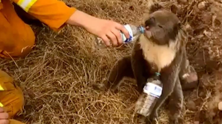 australia wildfire affects 480 million animals