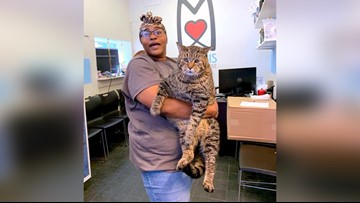 Giant 26-pound cat at Philadelphia shelter looking for a home