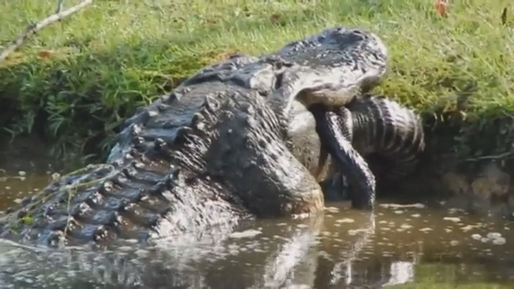 Video shows massive alligator swallow another gator