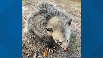 Golfers beat baby opossum blind, South Carolina wildlife rescue says