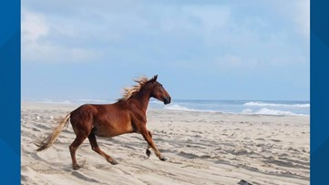 Blind wild horse 'Amadeo' dies at the age of 40 in Outer Banks
