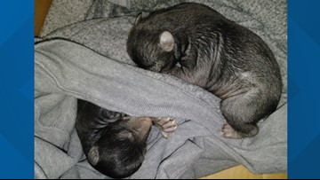 Baby bears found in box on front lawn of home in North Carolina